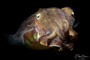 Portret of a young cuttlefish. Oosterschelde, Zeeland, Th... by Filip Staes